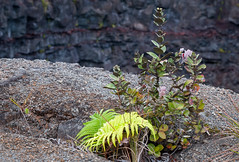 Plant on edge of Devil's Throat (bfluegie) Tags: bigisland hawaii hawaiivolcanoesnationalpark volcano lava devilsthroat