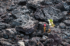 Life after Lava (bfluegie) Tags: bigisland hawaii hawaiivolcanoesnationalpark volcano lava