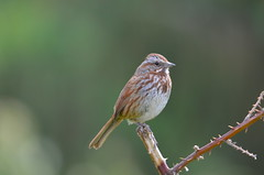Song Sparrow (Neal D) Tags: bc surrey crescentbeach bird sparrow songsparrow