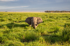 A Very Happy Elephant (Jill Clardy) Tags: africa kenya vantagetravel safari 201902184b4a0537 amboseli national park elephant green grass swamp afternoon game drive