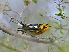 Blackburnian Warbler (Digital Plume Hunter) Tags:
