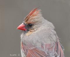 Female Cardinal on a rainy day (Diane G. Zooms---Mostly Off) Tags: northernfemalecardinal wildbirds nature cardinalphotos longislandbirds dianegiurcophotography cardinal femalecardinal redbirds ngc npc