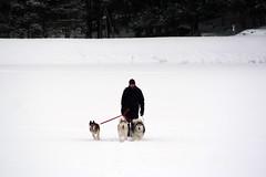IMG_7069_AutoColor (LifeIsForEnjoying) Tags: husky huskies dog dogs mushing nike kaskae sitka snow