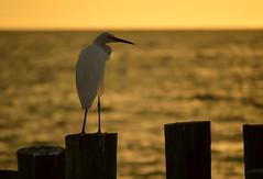 Waiting for the sun to set (radargeek) Tags: naples fl florida 2018 october greategret egret bird sunset beach