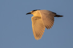 Sunset Black-Crowned Night-Heron Inflight (dbadair) Tags: outdoor seaside shore sea nature wildlife 7dm2 7d ii ef100400mm canon florida bird