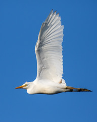 Cattle Egret Inflight (dbadair) Tags: outdoor seaside shore sea nature wildlife 7dm2 7d ii ef100400mm canon florida bird