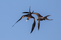 Pair of Magnificent Frigatebird Inflight (dbadair) Tags: outdoor seaside shore sea nature wildlife 7dm2 7d ii ef100400mm canon florida bird