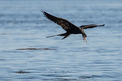 Magnificent Frigatebird Inflight Getting a Drink (dbadair) Tags: outdoor seaside shore sea nature wildlife 7dm2 7d ii ef100400mm canon florida bird