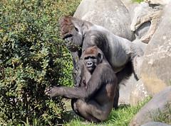 western lowlandgorilla Bokito Blijdorp 094A1224 (j.a.kok) Tags: animal africa afrika ape aap mammal monkey mensaap primate primaat zoogdier dier gorilla westelijkelaaglandgorilla westernlowlandgorilla lowlandgorilla laaglandgorilla zilverrug silverback bokito blijdorp