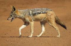 Jackal  /  Jakkals (Pixi2011) Tags: wildlife rietvleinaturereserve southafrica africa wildlifeafrica nature animals wildanimals coth coth5