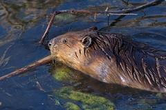 Beaver in the Marsh 2 (imageClear) Tags: beaver mammal animal marsh horiconmarsh imageclear flickr photostream