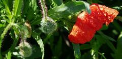 DESPRÉS DE LA PLUJA (Joan Biarnés) Tags: plademartís pladelestany girona rosella amapola 314 macro panasonicfz1000
