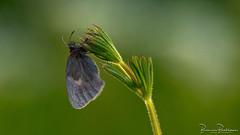 Small Heath (Coenonympha pamphilus) (BraCom (Bram)) Tags: 169 bracom bramvanbroekhoven coenonymphapamphilus depthoffield dof goereeoverflakkee herkingen holland nederland netherlands sigma150mmf28macro smallheath southholland zuidholland butterfly dauw dew hooibeestje macro morning ochtend plant scherptediepte sunrise vlinder widescreen zonsopkomst nl