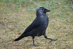 Jackdaw (hedgehoggarden1) Tags: jackdaw birds wildlife nature sonycybershot creature animal lackfordlakes suffolk eastanglia uk bird suffolkwildlifetrust sony