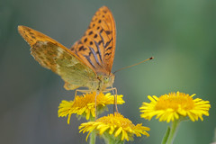 Silver Washed Fritillary (Linda Martin Photography) Tags: silverwashedfritillary hazelburybryan butterfly insects wildlife alnersgorse uk dorset coth naturethroughthelens alittlebeauty specanimal coth5 ngc npc