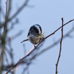Preparation #3 (MJ Harbey) Tags: bird longtailedtit collegelake wildlifetrust tring buckinghamshire nestpreparation aegithaloscaudatus aves passeriformes aegithalidae nikon d3300 nikond3300