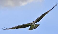 Osprey (hd.niel) Tags: osprey birdofprey raptor fisheating lakeontario nature wildlife photography ontario flight nikon720080400 12000 iso400