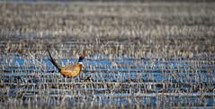 Ring-necked Pheasant (RWGrennan) Tags: ringnecked pheasant gibbon nebraska iain nicolson rowe sanctuary audubon bird field farm snow frost frozen nikon d610 tamron 150600 rwgrennan rgrennan ryan grennan ne midwest outdoors nature phasianus colchicus wildlife wild