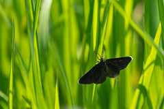 Chimney Sweeper (cabalvoid) Tags: woodland nature gress wild insect macro butterfly moth