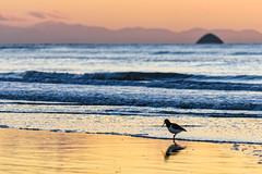 Oyster Catcher Reflection (David Hamments) Tags: nz waikanaebeach sunsetwalk oystercatcher bird beach
