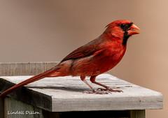 What's he doing here? (Lindell Dillon) Tags: northerncardinal songbird birds birding nature oklahoma normanok