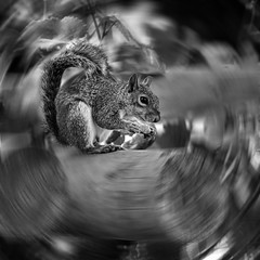 Tailspin (digitalmavin) Tags: squirrel animal blackandwhite blackandwhitephotography gimp blur highlights shadows contrast biscuit canon capetown nature southafrica francphotographyza
