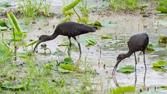 _5ND8091_LR_LOGO (Ray 'Wolverine' Li) Tags: hongkong bird birding birdwatch asia nature wildlife plegadisfalcinellus threskiornithidae pelecaniformes plegadis brauner sichler ibis