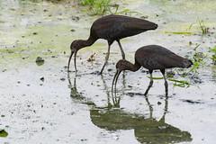 _5ND8144_LR_LOGO (Ray 'Wolverine' Li) Tags: hongkong bird birding birdwatch asia nature wildlife plegadisfalcinellus threskiornithidae pelecaniformes plegadis brauner sichler ibis