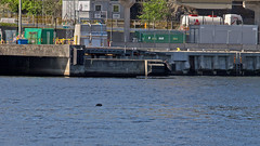 Halichoerus grypus - A Grey Seal at the Viking Line Terminal in Stockholm (Franz Airiman) Tags: halichoerusgrypus säl seal sälis sälx grayseal greyseal animal djur stockholm sweden scandinavia wild vild vattendjur mammal watermammal däggdjur vattendäggdjur gråsäl
