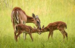 Mama & Babies (ap0013) Tags: myakkariver statepark sarasotaflorida sarasota myakka river animal wildlife nature spring springtime baby fawn deer twin mom mother twins