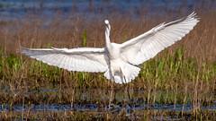 Great Egret (Gary R Rogers) Tags: bird wingspread oregon flight greategret