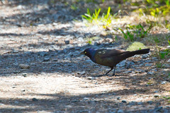 Common Grackle (Quiscalus quiscula) along the trail in Shubie Park, Dartmouth Nova Scotia (internat) Tags: 2019 canada novascotia ns dartmouth shubiepark commongrackle quiscalusquiscula bird birds eosm5 luminar