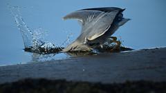 Got Ya (chris_m03) Tags: heron bird fishing nature