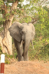 Savanna elephant, Mole Motel, Mole National Park, Ghana (inyathi) Tags: africa westafrica ghana africananimals africanwildlife africanelephants savannaelephants elephants loxodontaafricana molenationalpark molemotel safari