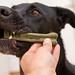 Schwarzer Labrador Retriever beißt Greenies getreidefreie Zahnstange als tägliche Zahnputzen