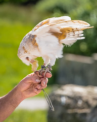 A Barn Owl (Tyto alba) feeds from a falconer's hand (Stephen_Lavery) Tags: barn owl beak bird captive carnivore carnivorous chick claws common dead eating falconer falconers hand feathers fingers golden heartfaced hooked human ireland eire leather strap tethers tether tethered jess jesses meat night hunter nocturnal perched prey raptor scavenger sligo soft talon talons carrion eater stoop