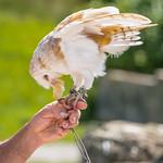 A Barn Owl (Tyto alba) feeds from a falconer's hand thumbnail