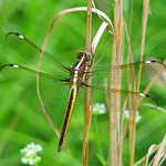 Spangled skimmer, immature male - this week thumbnail