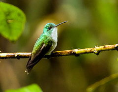 0P7A1380  Andean Emerald Hummingbird, in Ecuador (ashahmtl) Tags: andeanemerald bird hummingbird amaziliafranciae mindolindo sanmigueldelosbancos pichinchaprovince ecuador