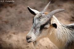 Ziege / Goat (R.O. - Fotografie) Tags: ziege goat tierpark bad pyrmont animal tier outdoor rofotografie mft micro four thirds nahaufnahme closeup close up panasonic lumix dmcgx8 dmc gx8 gx 8 olympus mzuiko premium 60mm f28 macro objectiv objektiv nah
