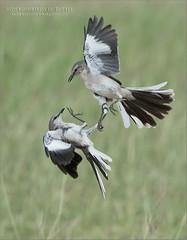 Mockingbirds in Battle (Raymond J Barlow) Tags: texas mockingbirds nature bird birdinflight fight raymondbarlow workshop travel
