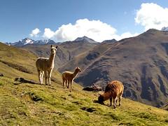 Andean Landscape (SalkantayTrekMachu) Tags: cusco landscape travel travelphotography treking travels travelpic trek trekkinginperu travelinperu traveling tourism tour traveler tours travelguide trekking trektomachupicchu traveleiros travelperu machupicchu mountain maravilla alpacas llamas peru andean