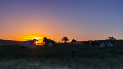 les vaches du petit village (Hamid Chouaieb) Tags: vache animal animals morning sun sunrise lever du soleil blue light beautiful sky ciel vaches