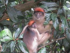 Red Colobus at Lake Nkuruba (Give-on) Tags: africa uganda fortportal lakenkuruba lakenkurubanaturereserve redcolobus monkey primates wild wildlife free tree leaf