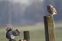 If looks could kill (Chris B@rlow) Tags: athenenoctua littleowl sciuruscarolinensis greysquirrel squirrel owl bird birds rodent nature wildlife countydurham canon7dmarkii canon sigma150600sport sigma