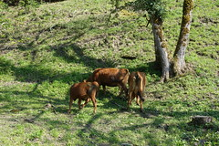 Cow @ Cluses @ Hike to Mont Orchez (*_*) Tags: may 2019 afternoon spring printemps cluses europe france hautesavoie 74 savoie hiking mountain montagne walk marche randonnee nature