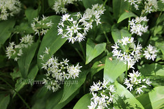 Wild Garlic (Ken Meegan) Tags: wildgarlic tinternwood tinternabbey saltmills cowexford ireland 452019 wildgarlicflower garlicflower flower