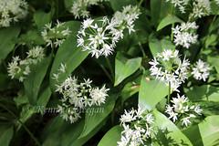 Wild Garlic (Ken Meegan) Tags: wildgarlic tinternwood tinternabbey saltmills cowexford ireland 452019 wildgarlicflower garlicflower flower