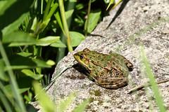 Biotope Birsfelden 14-05-2019 012 (swissnature3) Tags: biotope birsfelden switzerland nature wildlife animals frog