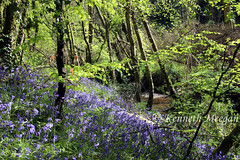 Blubells in Tintern Wood (Ken Meegan) Tags: blubellsintinternwood tinternwood tinternabbey saltmills cowexford ireland 452019 blubells wood trees stream tinternstream tinterntrails